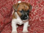 Jack Russell Terriers puppies for free adoption
