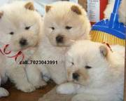 Health certificate,  Health guarantee Chow chow puppies