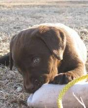 Lovely Chocolate Labrador Retriever Puppies For Caring Homes