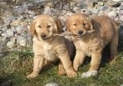 Well Trained Golden Retriever Puppies For Lovely Homes
