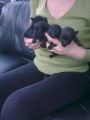 patterdale terrier pups  for sale     ace pups for temprement