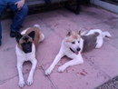 beautiful marking akitas for sale 300 pound or nearest offers